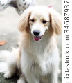 cute lovely white long hair young crossbreed dog  34687937