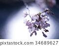cherry blossom, cherry tree, yoshino cherry tree 34689627