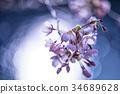 cherry blossom, cherry tree, yoshino cherry tree 34689628