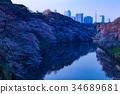 치도리가 후치의 봄, 벚꽃 축제, 왕 벚꽃 나무 34689681