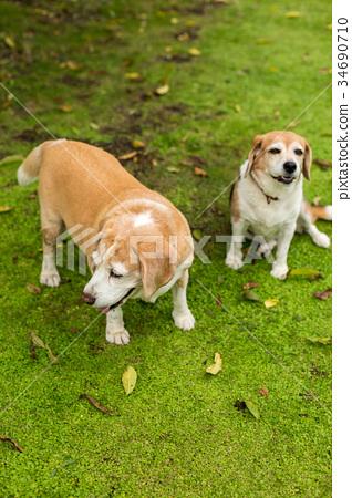 2 beagle dogs 34690710