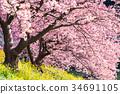 """""""จังหวัดชิสึโอกะ"""" ต้นซากุระ Minamiizu-cho · Kawazu บานสะพรั่ง 34691105"""