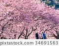ดอกซากุระบาน,ซากุระบาน,ฤดูใบไม้ผลิ 34691563
