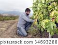 Harvesting Vineyard Grapes Man Mountain 34693288