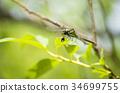 春蜓科 蜻蜓 大團扇春蜓 34699755