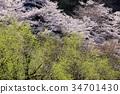 봄의, 꽃, 식물 34701430