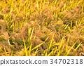 벼 논 쌀, 가을의 결실 벼농사 수확의 가을. ※ 쌀의 품종은 알 수 없습니다. 9 월 말 촬영. 34702318