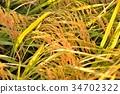 rice, crop, cultivation 34702322