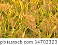 rice, crop, cultivation 34702323