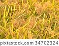 rice, crop, cultivation 34702324