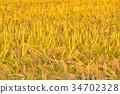 rice, crop, cultivation 34702328
