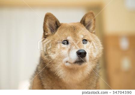 可愛的柴犬畫像 34704390