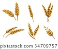 Golden wheat ears and grains realistic vector set 34709757