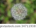 dandelion, fluff, fluffy 34711938