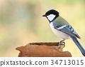 wild, bird, titmouse 34713015