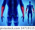 3D illustration of Ulna, medical concept. 34719115