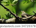 pygmy woodpecker, woodpecker, woodpeckers 34720378