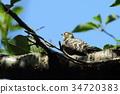 pygmy woodpecker, woodpecker, woodpeckers 34720383