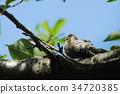 pygmy woodpecker, woodpecker, woodpeckers 34720385