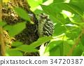 pygmy woodpecker, woodpecker, woodpeckers 34720387