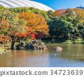 koishikawa kourakuen garden, maple, yellow leafe 34723639