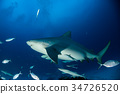 bull shark while ready to attack while feeding 34726520