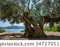 橄榄 大树 树 34727051
