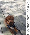 Red poodle 34730721