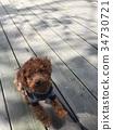 紅貴賓犬 34730721