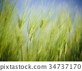 Background of green barley field 34737170