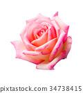 กุหลาบ,ดอกกุหลาบ,สีชมพู 34738415