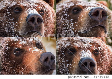 emotions collage of brown bear muzzle in snow 34739438