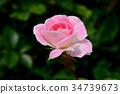식물, 꽃, 플라워 34739673