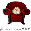 Pomeranian on Red Chair 34739932