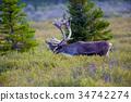 馴鹿 動物 鹿 34742274