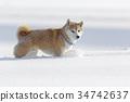 狗 狗狗 日本犬 34742637