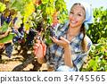 Woman picking ripe grapes on vineyard 34745565