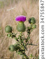 Carduus. Plumeless thistles. Purple wild flower 34755847