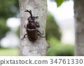 rhinoceros beetle, insect, insects 34761330