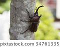 牙买加犀金龟 昆虫 虫子 34761335