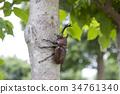 牙买加犀金龟 昆虫 虫子 34761340