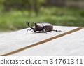 牙买加犀金龟 昆虫 虫子 34761341