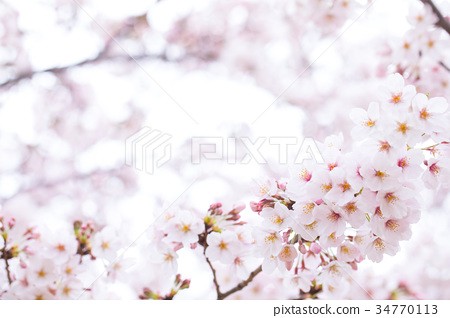Cherry blossom image material Yoshi Yoshino Somei Yoshino Somei Yoshino Sakura Close-up Close-up Copy space 34770113