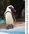 cape, penguin, penguins 34773490