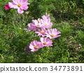 ดอกไม้ฤดูใบไม้ร่วงสีชมพูจักรวาลจำนวนมากกำลังเบ่งบาน 34773891