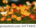 poppy, iceland, bloom 34774845