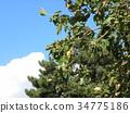 chinese tallow tree, unripe, immature 34775186