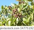 rhaphiolepis umbellata, fruit, green 34775192