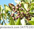 rhaphiolepis umbellata, fruit, green 34775193