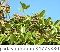 rhaphiolepis umbellata, fruit, green 34775380